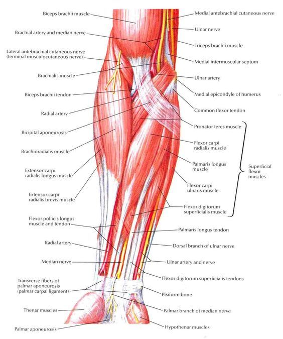 forearm workouts muscles bones wrist anatomy